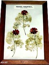 Növénytan múzeum, Szteppei bazsarózsa (Paeonia tenuifolia), védett növény, Fotó: Mihai Pușcaș