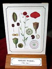 Növénytan múzeum, A pipacs magyarázó táblája, Fotó: Mihai Pușcaș
