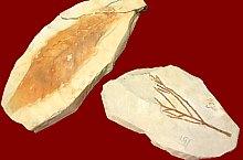Cluj, Muzeul Botanic, Amprente vegetale fosilizate din colecția Flora Pliocenică de la Borsec (Castanea vesca, Glyptostrobus europaeaus), Foto: Mihai Pușcaș