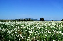 Nárcisz mező, Szencsed , Fotó: Csedő Attila