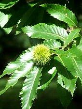 Napradea, Arboretul de castan, Foto: WR