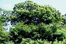 Napradea, Arboretul de castan, Foto: Aurel Medve