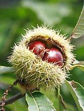 Napradea, Chestnut stand, Photo: WR