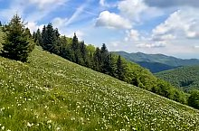 The Clearing with narcise of Negrileasa, Valea Negrilesii , Photo: Hám Péter