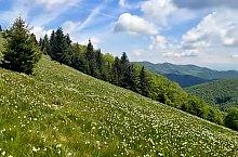 Negrileasa-i nárciszmező, Valea Negrilesii , Fotó: Hám Péter