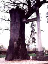 The Horea's secular oak, before the storm of 2007