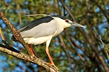 Nycticorax nycticorax, Photo: Lucian Pârvulecu