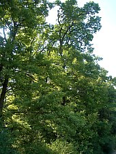 Padurea de stejari, Gurbediu , Foto: WR