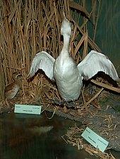 Muzeul de Stiinte Naturale, Tinca , Foto: WR