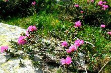 Rhododendron, Fotó: Marian Ghibu