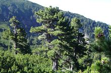 Pinus cembra, Foto: Călin Hodor